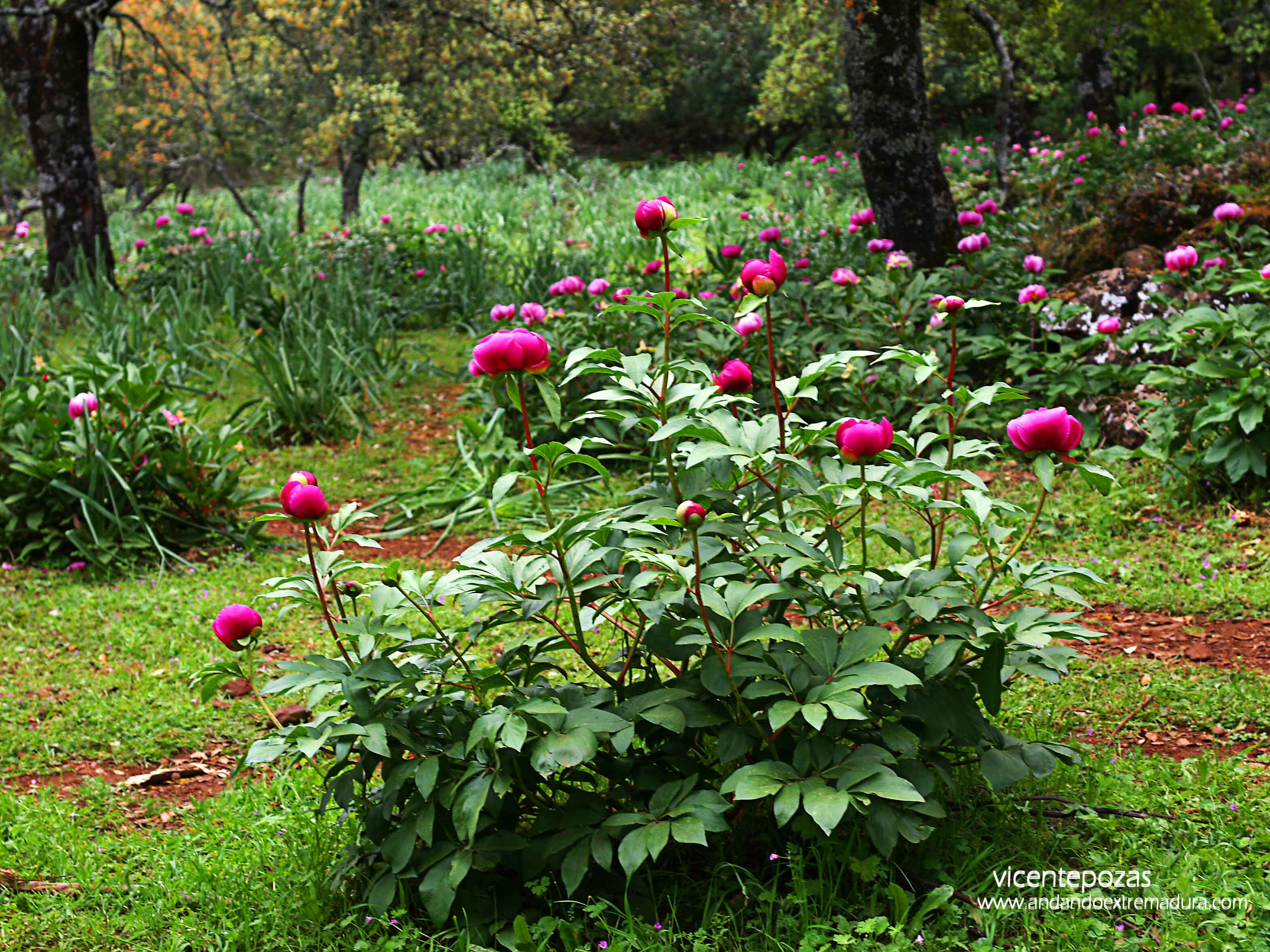 Ruta de la Rosa de Alejandría. Olivenza
