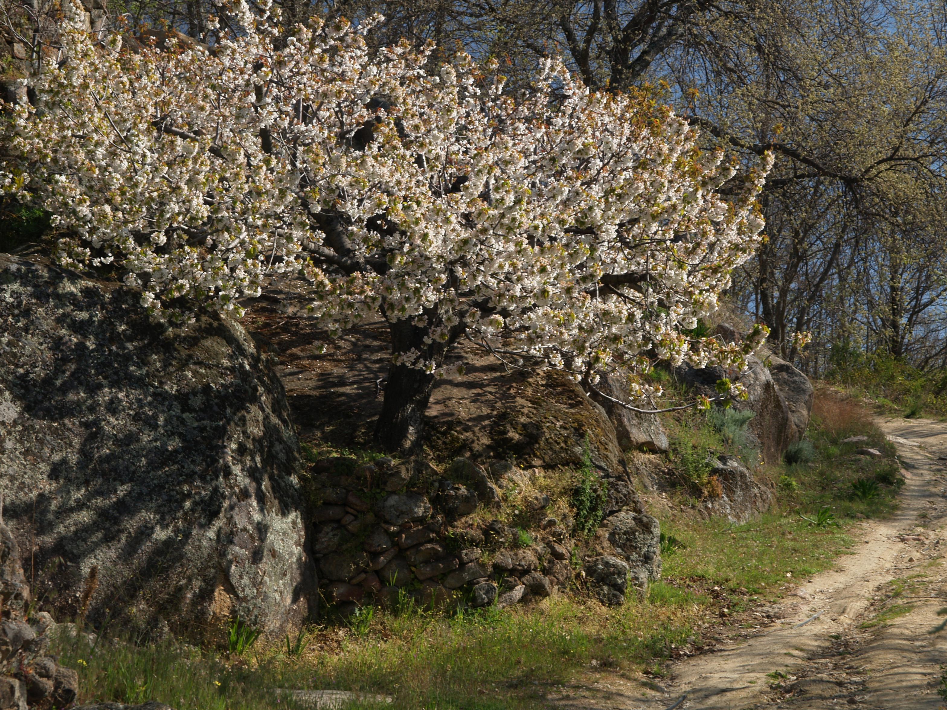 El espectáculo del cerezo en flor